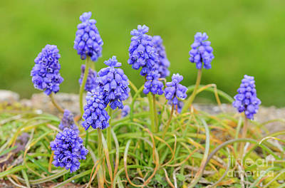 Hyacinth Photograph - Armenian Grape Hyacinth by Geoff Smith
