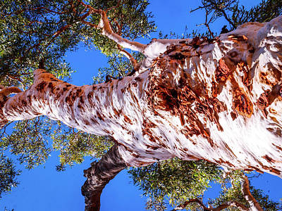 Photograph - Ghost Gum Tree #2 - Kings Canyon, Australia by Lexa Harpell