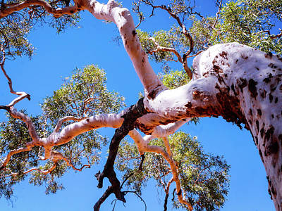 Photograph - Ghost Gum Tree - Kings Canyon, Australia by Lexa Harpell
