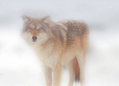 Photograph - Ghost Wolf by Greg Slocum