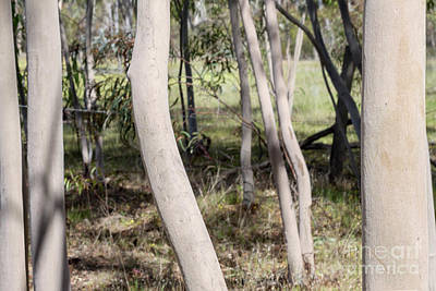 Photograph - Ghostly Gums by Linda Lees