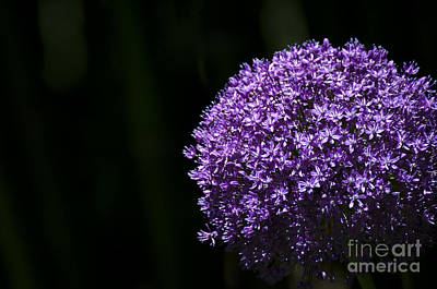 Photograph - Giant Allium by Andrea Silies
