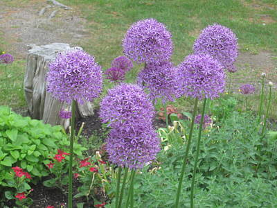 Photograph - Giant Allium by Paul Meinerth