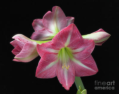 Photograph - Giant Amaryllis 'pink' by Ann Jacobson