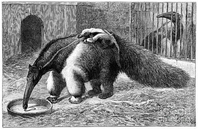 Raising Photograph - Giant Anteater And Cub, 19th Century by Spl