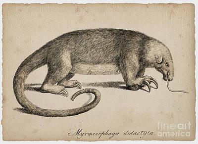 Drawing - Giant Anteater by Sergey Lukashin