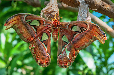 Photograph - Giant Atlas Moth  by Jim Thompson