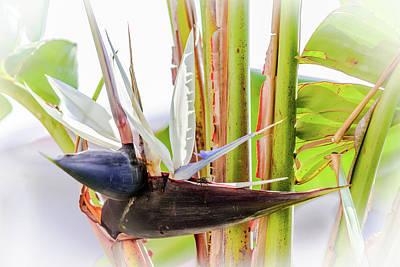 Photograph - Giant Bird Of Paradise Bloom by Debra Martz