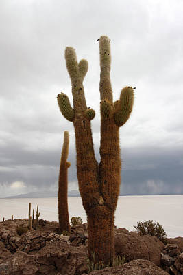 Photograph - Giant Cacti On Isla Incahuasi by Aidan Moran