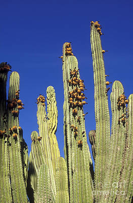 Photograph - Giant Cordon Cactus San Jose Del Cabo Mexico by John  Mitchell