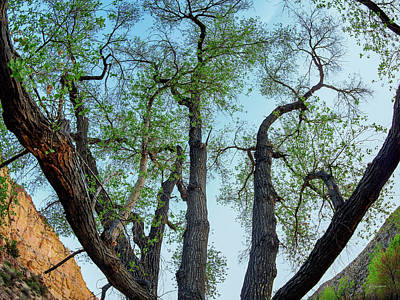 Photograph - Giant Cottonwood by Leland D Howard
