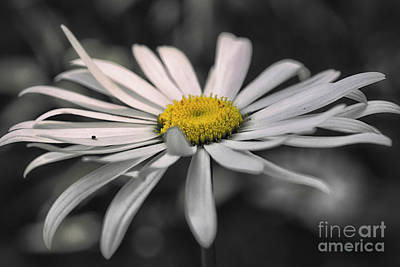 Nikki Vig Royalty-Free and Rights-Managed Images - Giant Daisies in July by Nikki Vig
