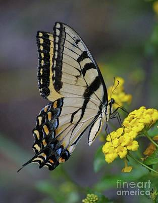 Photograph - Giant Eastern Swallowtail by Dodie Ulery