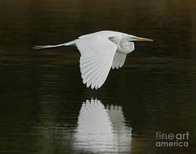Photograph - Giant Egret Flight Grace by Deborah Benoit