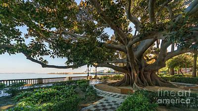 Photograph - Giant Ficus Alameda Apodaca Cadiz Spain by Pablo Avanzini