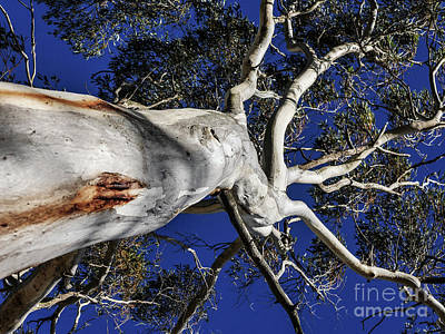 Photograph - Giant Gum Tree by Lexa Harpell