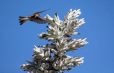 Photograph - Giant Hummingbird, Patagona Gigas Peruviana by Venetia Featherstone-Witty