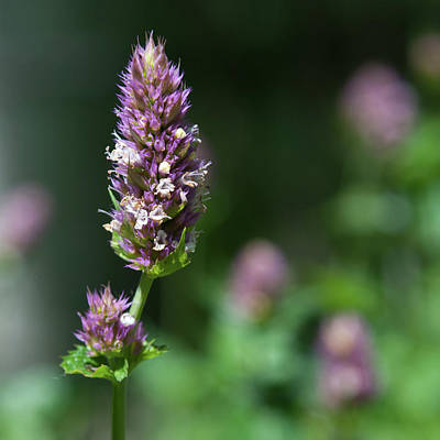 Photograph - Giant Hyssop Wildflower by Cascade Colors