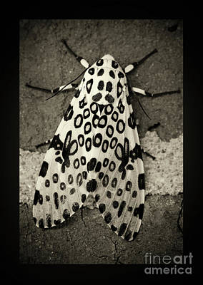 Photograph - Giant Leopard Moth Black And White Border by Karen Adams