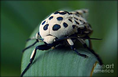 Photograph - Giant Leopard Moth by Janice Spivey