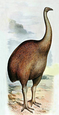 Dinornis Photograph - Giant Moa Dinornis Ingens, Cenozoic Bird by Biodiversity Heritage Library