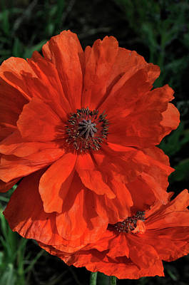 Photograph - Giant Mountain Poppy by Ron Cline