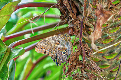Photograph - Giant Owl Butterfly  by Jim Thompson