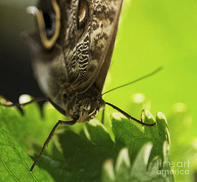 Photograph - Giant Owl Butterfly Macro by Sue Harper