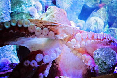 Photograph - Giant Pacific Octopus by Deana Glenz