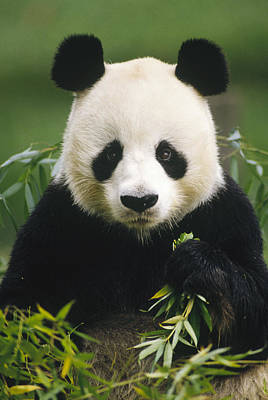 Photograph - Giant Panda Ailuropoda Melanoleuca by Gerry Ellis