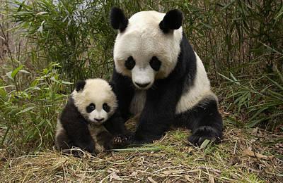 Himalayan Photograph - Giant Panda Ailuropoda Melanoleuca by Katherine Feng