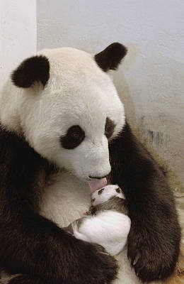 Panda Bears Photograph - Giant Panda Ailuropoda Melanoleuca Xi by Katherine Feng