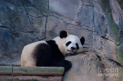 Photograph - Giant Panda by Donna Brown