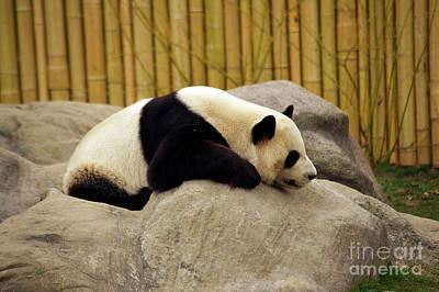 Photograph - Giant Panda by Elaine Mikkelstrup