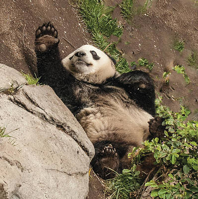Photograph - Giant Panda High Five by William Bitman