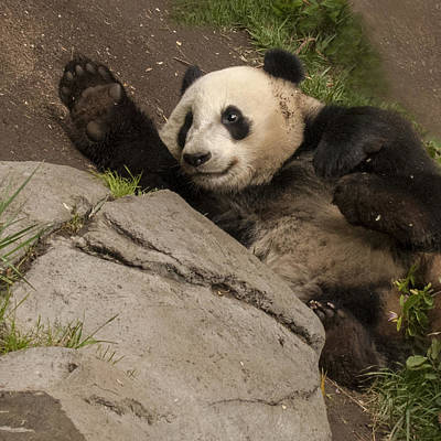 Photograph - Giant Panda High Five With A Smile by William Bitman