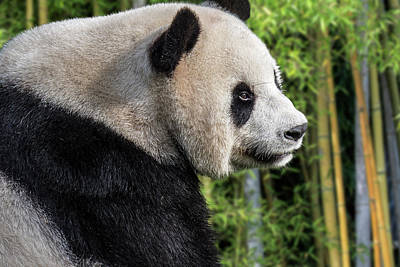 Photograph - Giant Panda In Bamboo Forest by Arterra Picture Library