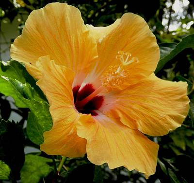 Photograph - Giant Peach Hibiscus by Belinda Lee