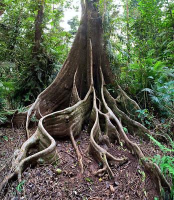 Giant Rain Forest Tree Art Print by Dirk Ercken