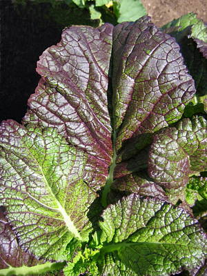 Photograph - Giant Red Mustard Greens by Larry Bacon