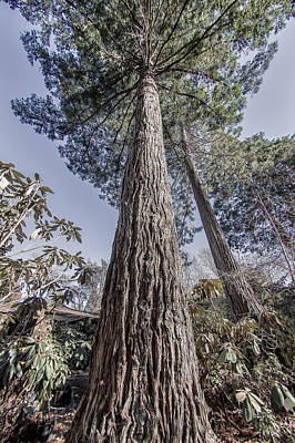 Photograph - Giant Redwood - Standing Tall by Jay Blackburn