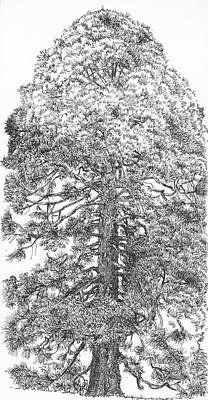 Drawing - Giant Redwood Tree , Pen And Ink Drawing by Martin Stankewitz