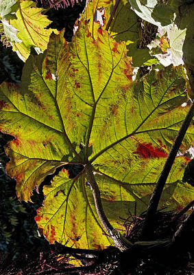 Contre-jour Photograph - Giant Rhubarb Leaf by Bob Gibbons