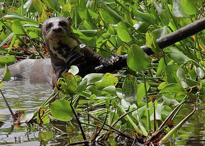 Photograph - Giant River Otter North Pantanal by Nareeta Martin