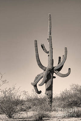 Photograph - Giant Saguaro Cactus Sepia Image by James BO Insogna