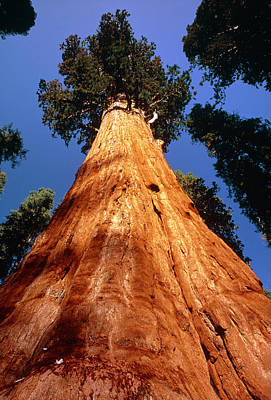 Sequoiadendron Giganteum Photograph - Giant Sequoia 'general Sherman' by David Nunuk
