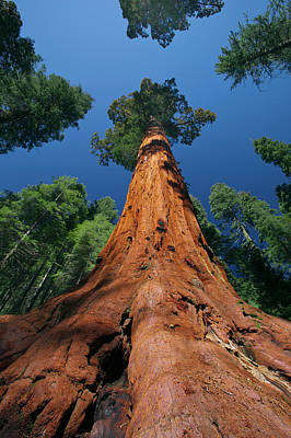 Photograph - Giant Sequoia In Yosemite by Jeff Foott