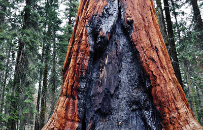 Art Print featuring the photograph Giant Sequoia by Kyle Hanson