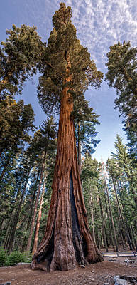 Giant Sequoia Art Print by Phil Abrams