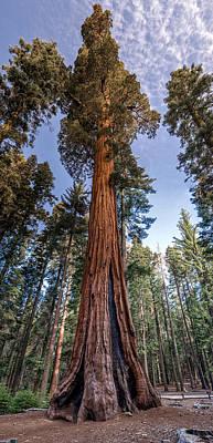Giant Sequoia Art Print